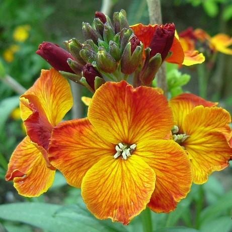 Желтофиоль садовая: размножение, фото, уход, виды