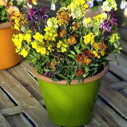Желтофиоль садовая фото