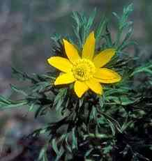 Как выглядит растение Адонис