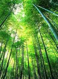 Бамбук фото, пересадка