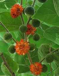 Бруссонетия Бумажное дерево фото