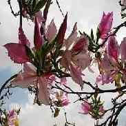 Баухиния Орхидейное Дерево: описание, уход, размножение