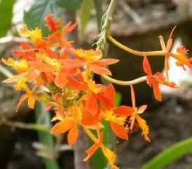 Орхидея Эпидендрум: уход, виды, болезни, фото, размножение