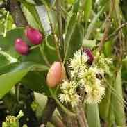 Гвоздичное дерево размножение