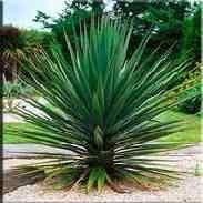 Юкка Шотта растение