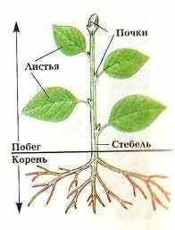 Основные органы растения