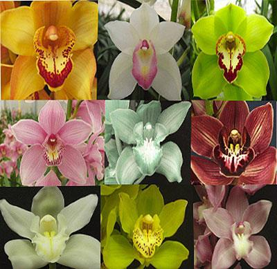 Орхидея Цимбидиум: размножение, фото, уход, виды