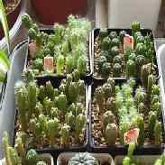 Размножение кактусов и суккулентов