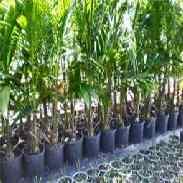 Размножение пальм и пальмовых растений