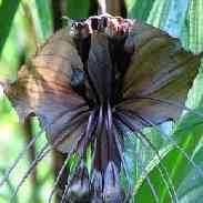 Такка: описание, уход, размножение, фото