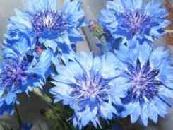 Василек синий луговой, полевой, многолетний василек
