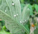 Фото Белокрылки на листьях
