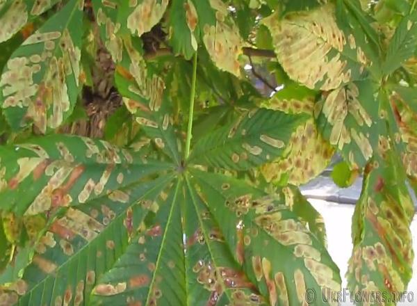 Минирующая моль повредила листы каштанов