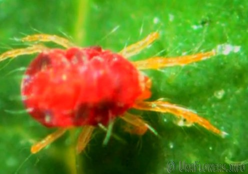 Паутинный клещ фото. Как избавиться от паутинного клеща