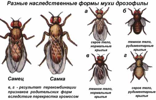 Наследственные формы мухи Дрозофилы