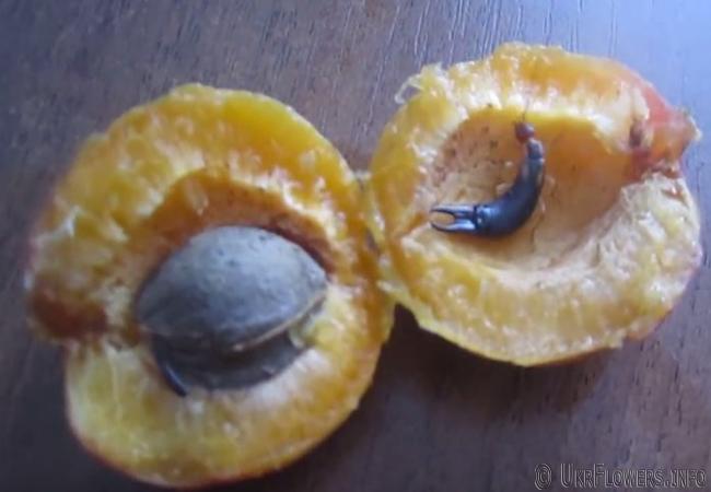 Двухвостка в абрикосе